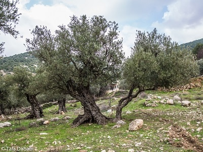 Olive Tree along the Jordan Trail