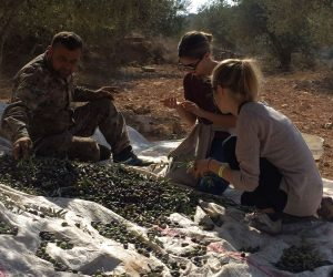 Olives picking experience
